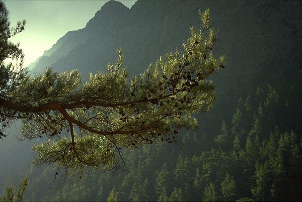 Větev borovice v soutěsce Samaria