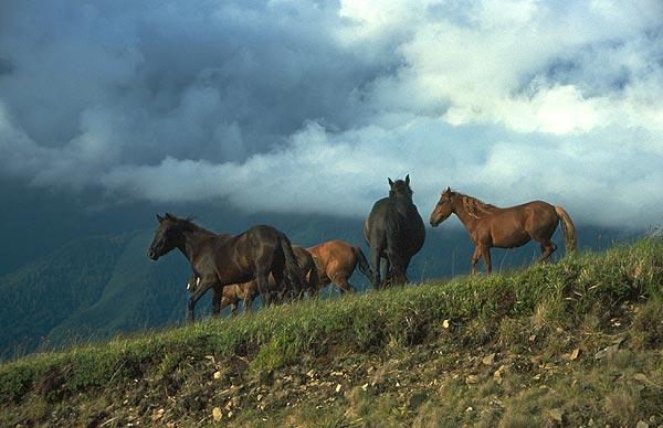 Divocí koně na horské pastvině