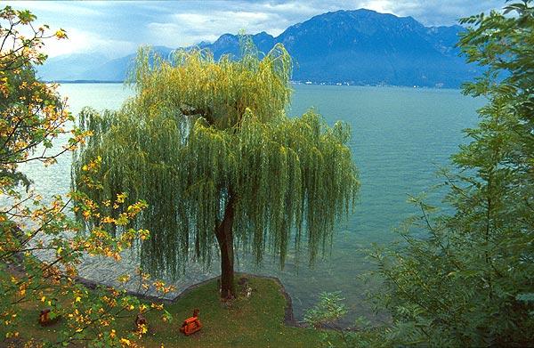 Vrba na břehu Ženevského jezera
