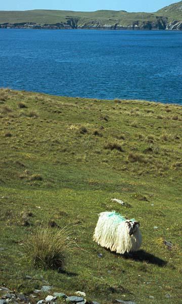 Huňatá ovce na ostrově Dursey