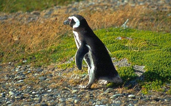 Spěchající tučňák
