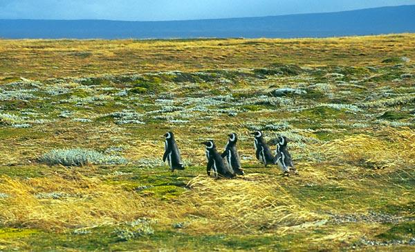 Skupina tučňáků magellánských