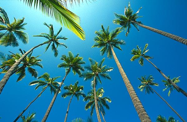 Kokosové palmy