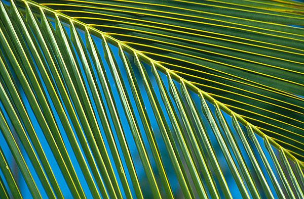 Detail palmového listu