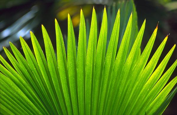 Vějíř palmového listu