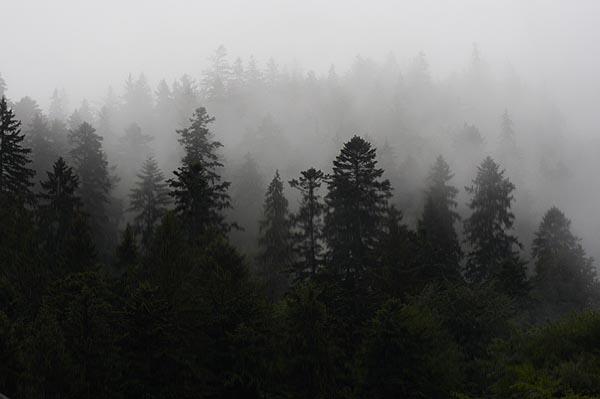 Jehličnatý les v mlze
