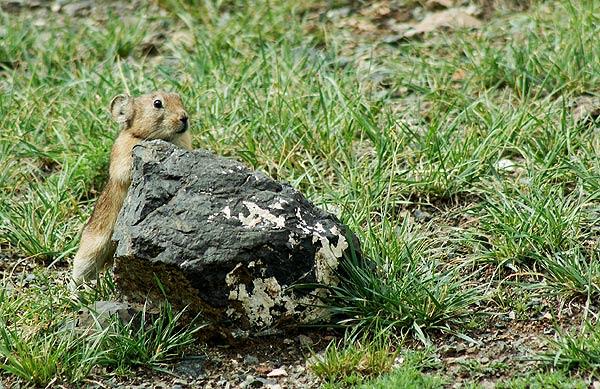 Pišťucha Pallasova
