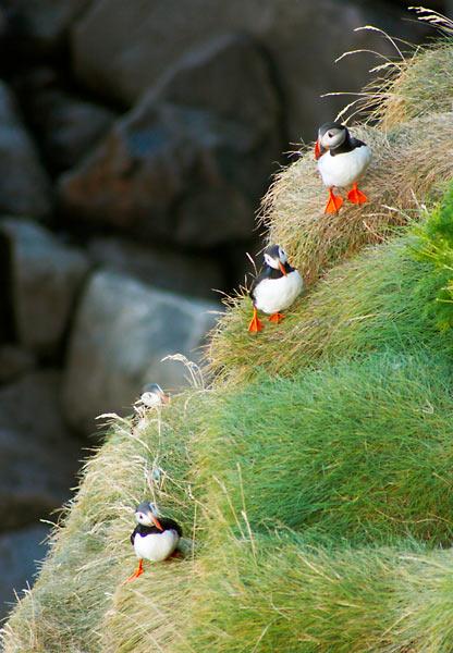 Papuchalci na útesech