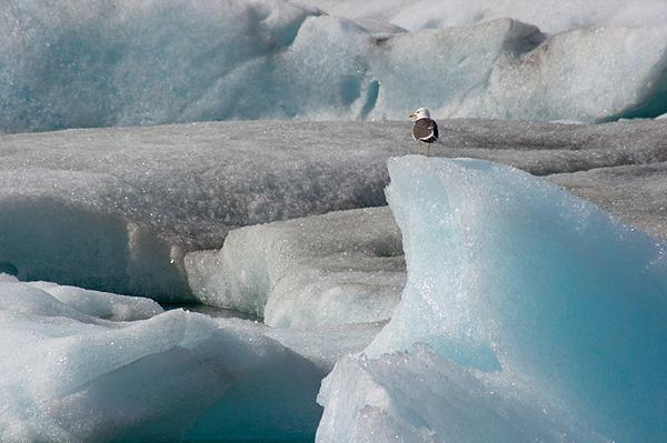 Racek na ledu