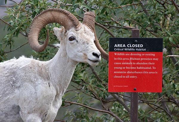 Ovce aljašská - Dall Sheep