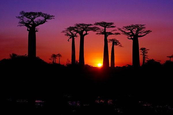 Baobaby Adansonia Grandidieri