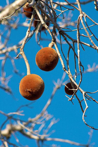 Plody baobabu
