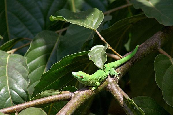 Madagaskarský gekon - felsuma