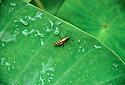 Tropická kobylka