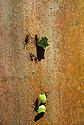 Mravenci střihači - Atta Cephalotes