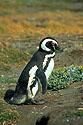 Stojící tučňák magellánský