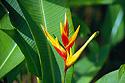 Květ heliconie