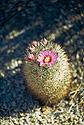 Květ kaktusu Mammillaria