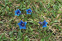 Hořec Clusiův, květy