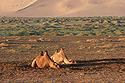 Spící velbloudi