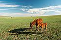 Kobyla s hříbětem na pastvě
