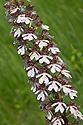 Vstavač nachový - květ orchideje