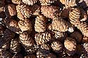 Šišky limby sibiřské