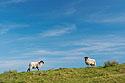 Ovce na obzoru