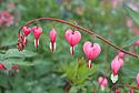 Srdcovka nádherná