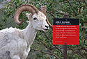 Ovce aljašská - Dall Sheep