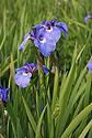 Květ divokého kosatce