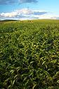 Čajová plantáž Sahambavy