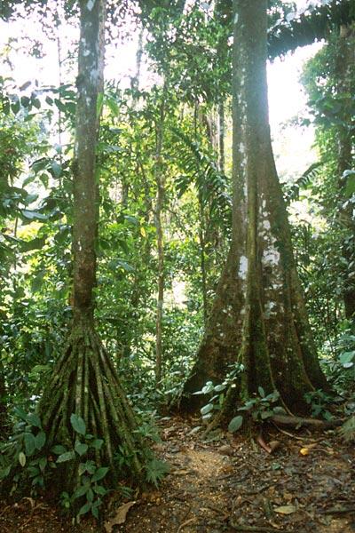 Stromy deštných pralesů