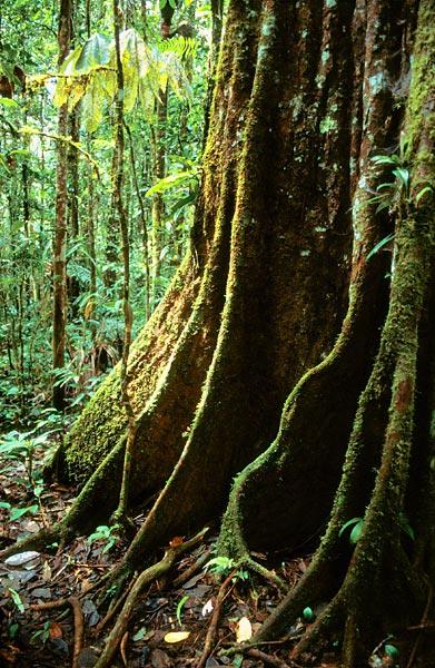 Kořeny stromu v deštném pralese