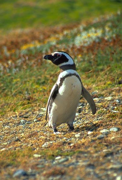 Tučňák magellánský