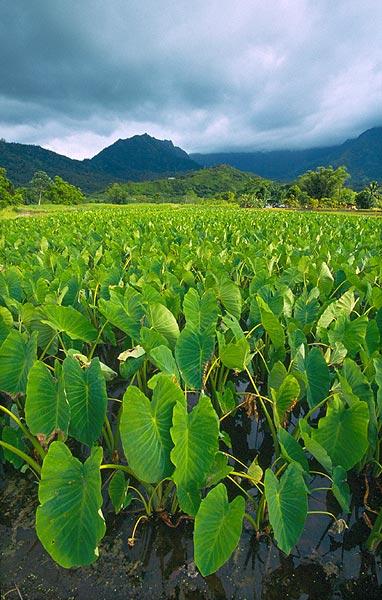 Taro na plantáži u Hanalei