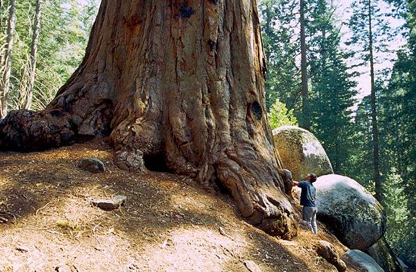 U kořenů obrovité sekvoje