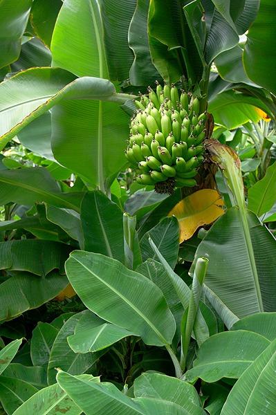 Banány z Islandu
