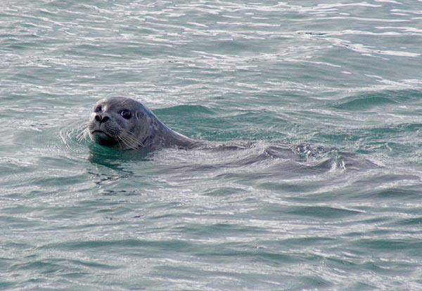 Odplouvající tuleň obecný