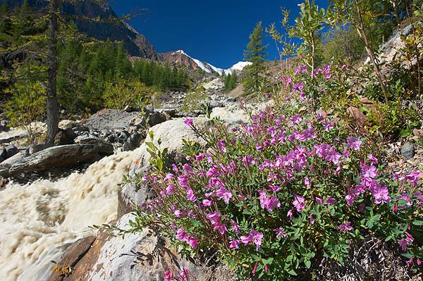 Epilobium latifolium, říční kráska