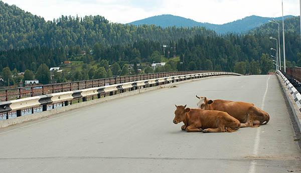 Krávy na silnici