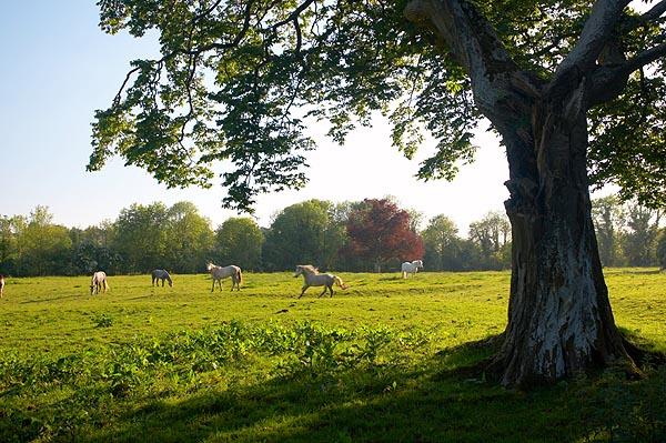 Koně na pastvině