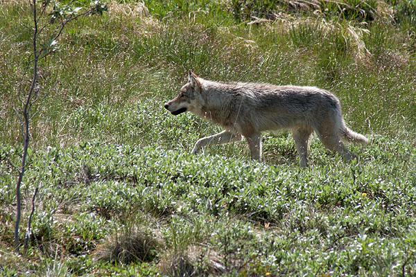 Vlk v národním parku Denali