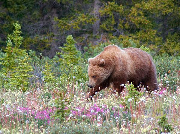 Medvěd hnědý na pastvě