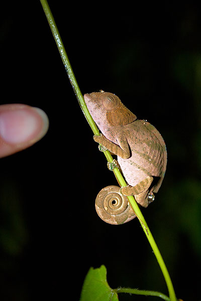 Spící chameleon