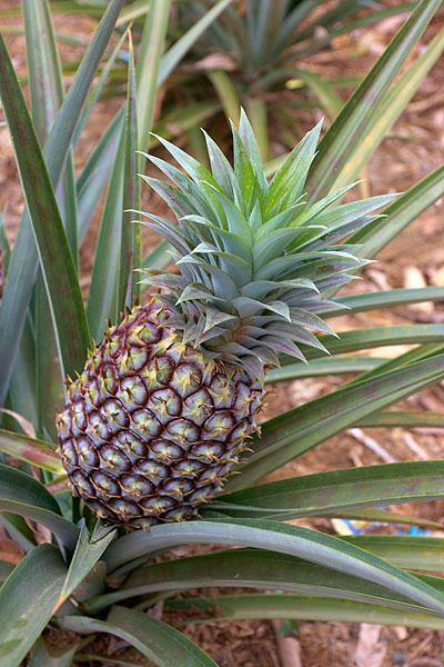 Plod Ananasu