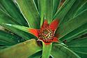 Ananasovník chocholatý