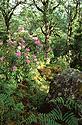 Irský prales s rododendrony