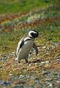 Tučňák ve větru