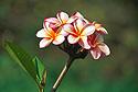Růžový květ plumérie